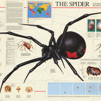 The Spider Arachnid Education Poster 27x39