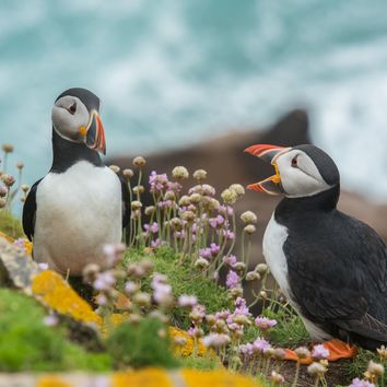 Puffins at Skellig Michael