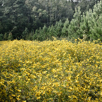 Spring Flowers Yellow Landscape Woodland Photo Monet Style, Green Meadow, Trees and Flowers, Pine, Green, Maryland, Country, Woods, Forest