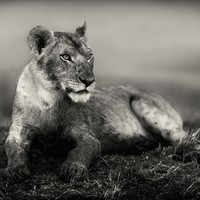 """Young lion"" - Art Print by pekka Järventaus"