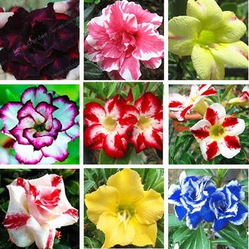 Hot Selling Bonsai Adenium Obesum Seeds Balcony Flowers Seeds 1 Pcs Rainbow Desert Rose Seeds For Home Garden Easy To Grow