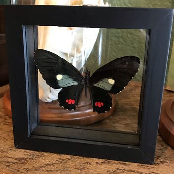 Framed Parides Butterflies