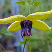 30 Clematis Radar Love Flower Seeds Vine , Purple Golden Yellow Perennial, Bloom Very Abundantly!