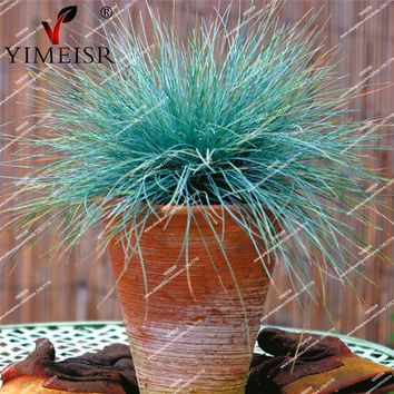 Blue fescue grass ornamental Grass Seeds rare perennial flower seeds outdoor plants Indoor balcony bonsai flower seeds20pcs/bag