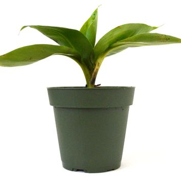 "9GreenBox - Truly Tiny - Tiny Musa Banana Tree - 4"" Pot"