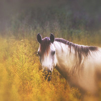 Nature photography, horse photo, soft dreamy, gold and purple, wildflowers, square photo, rustic wall decor, handmade viviarte