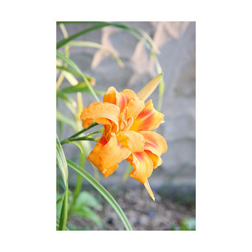 Lily Flower Art Photograph - Orange Gray Decor