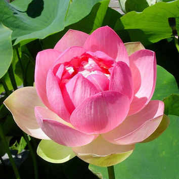 5 Lotus Water Lily Flower Seeds | Hydroponic Plant | Raw Bowl Seed Nymphaea Nelumbo Nelumbo Nucifera Pond Plants Flower Garden Decor