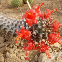 Red Flowered Pincushion Cactus Seeds (Cochemiea poselgeri) 20+Seeds