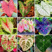 100Pcs Caladium  Indoor Plants Caladium Bicolor Flower plant Bonsai Colocasia  For Home Garden