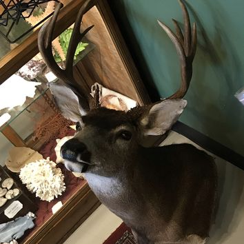 Blacktail Deer Taxidermy Mount