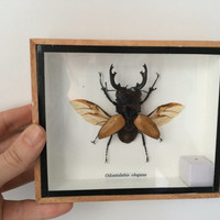 Stunning taxidermy Stagg beetle - Odontolabis Elegans - Entomology