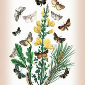 "Moths: Dipthera Ludifica, Moma Orion, et al.: Fine art Giclee canvas print (20"""" x 30"""")"