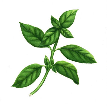 "Basil Herb Art, Original Watercolor Painting of Basil Plant, Kitchen Art Botanical Illustration, Green Leaf Watercolour Culinary Art 10""X8"""