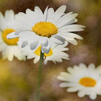 Group of Daisies - Nature Photography - Flower Photo - Gifts Under 30 - Blooms - Petals - Garden - Plant