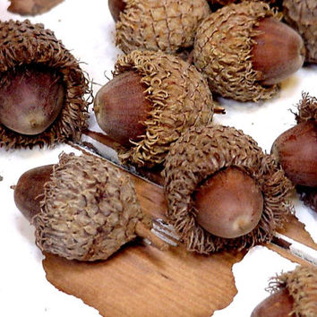 Large Acorns Nuts with Caps Bur Oak Tree Acorns Fringed Hats Autumn Rustic Woodland Fall Thanksgiving Holiday Home Decor itsyourcountry