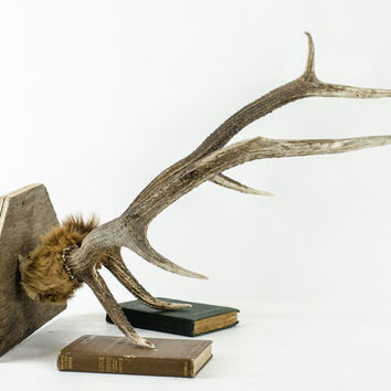 Large Elk Deer Antler Rack Taxidermy with Fur
