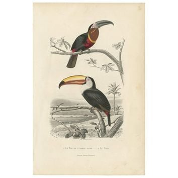 Antique Bird Print of the Channel-Billed Toucan and the Toco Toucan, 1853