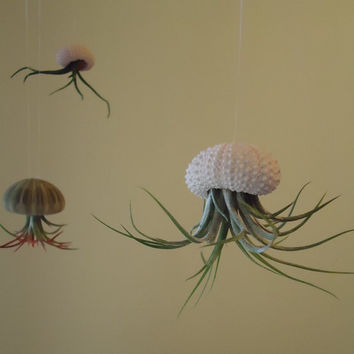 Tillandsia Air Plant Hanging Sea Urchin, Sea Shell Living Ornament, Ready for Gifting