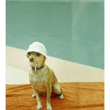 Chihuahua Photo at  Mid Century Pool  or 8x10