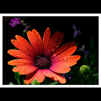 Floral Photograph Orange,african daisy,macro,petals,raindrops,closeup,dramatic print,peach,gifts under 25,tangerine,gorgeous floral print