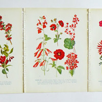 Set of 3 Vintage prints of flowers - Botanical Illustrations - Flower illustrations in reds - home decor