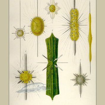 Scientific Illustration - Ernst Haeckel Print - Nautical Art - Poster - Prints - Home Decor - Wall Art - Giclee - Mod - Mid Century Style
