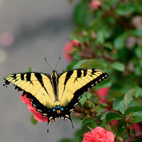 Tiger Swallowtail Photography Print