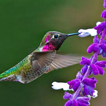 Hummingbird Garden Collection, 7 colorful flowers, 700 seeds, easy annuals for any zone, Salvia, Penstemon, Morning Glories, hummingbirds