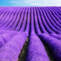 100pcs/bag lavender seeds,french lavender seeds,flower seeds,Very fragrant,Natural growth,home garden plant for children'gifts