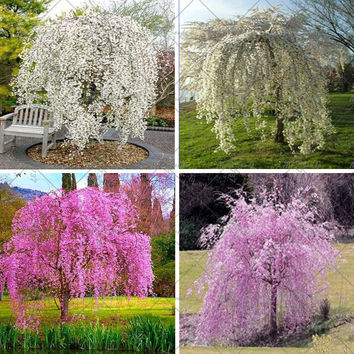 20pcs / bag Fountain Weeping cherry tree, DIY family garden Shrub tree Cherry tree seeds, garden Ornamental plant Bonsai