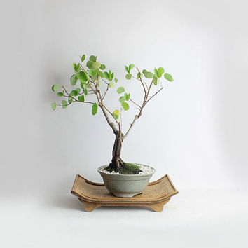 """Dwarf Red Orchid Bonsai Tree """"Winter'16 Tropical collection"""" from LiveBonsaiTree"""