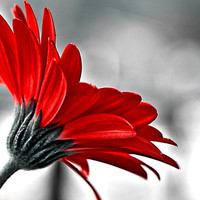 Flower Print, Red, Gerbera Daisy, Macro, Nature Photography, Close Up, Home Decor, Wall Art, Fine Art Photography, Various Sizes