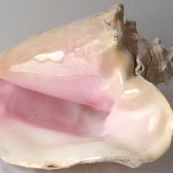 Giant Natural Pink Conch Seashell, Beach Shell Home Decor, Wedding Display, Craft Supply