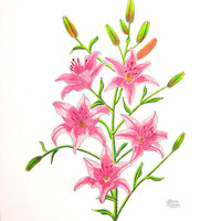 Light Pink Tiger Lily Drawing by Laura Wilson - Light Pink Tiger Lily Fine Art Prints and Posters for Sale
