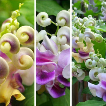 20 Corkscrew Vine Flower Seed | Fragrant Vigna Caracalla Rare Snail Flower Fruit Seeds Potted Plants for DIY Garden Home Decor Plants Grow