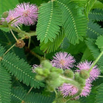 Mimosa pudica 40 seeds - sensitive plant