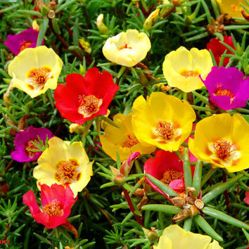 500 Mixed Colorful Moss Rose / Sun Rose/ Mexican-rose/ Eleven O'Clock/ Purslane Flower Seeds Home Garden Plant Portulaca Grandiflora