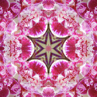 Orchid Star