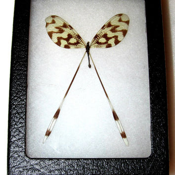 Real macedonian spoon fly neuropteron framed butterfly insect
