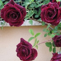 Heirloom 300 Climbing Rose Seeds Climber Deep Red Perennials Flower Bulk Double B3200