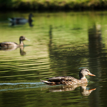 Ducks Enjoying a Morning Swim, Wildlife Photography, Nature Photo, Animal Photography, Animal Decor, Duck Photography, Duck Art,  4x6-24x36
