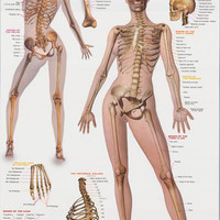 Skeletal System Anatomy Education Poster 24x36