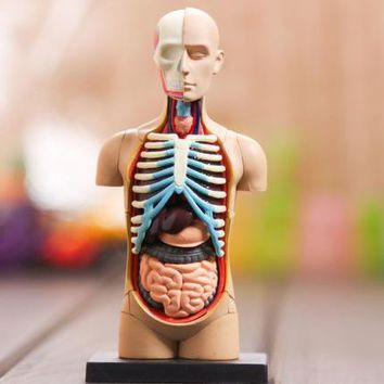 small human torso Human Anatomy model Human bust / head / musculoskeletal anatomical models 32pcs assemble free shipping