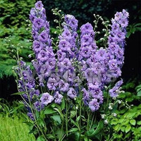Larkspur Lilac Spire Flower Seeds (Delphinium Consolida) 50+Seeds