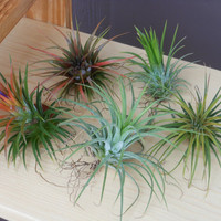 Air Plant Variety Pack - 5 Assorted Ionantha