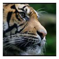Gorgeous Bengal Tiger Face Posters
