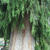 Chinese Weeping Cypress Tree Seeds ( Cupressus funebrii ) 20+Seeds