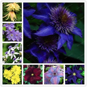 Hot Selling 100pcs/bag Mix Beautiful Clematis Seeds Bonsai Flower Seeds for Home& Garden Easy Grow  Free Shipping