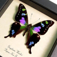 Framed Butterfly Best Seller Purple Spot Swallowtail FREE SHIPPING 229
